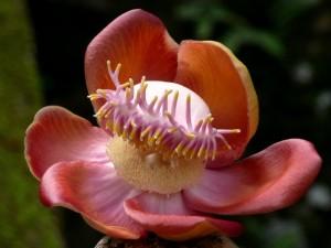 Sri-Lanka. Fiore di Buddha