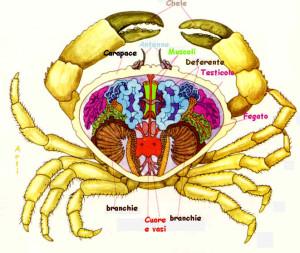 anatomia del granchio