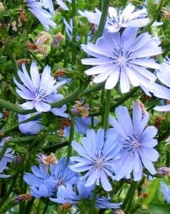 cicoria_fiori