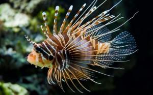 pescescorpione