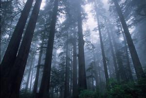 5.Sequoia