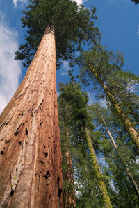6.Sequoia