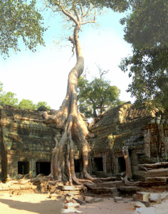 8.Ta Prohm. Huge tree