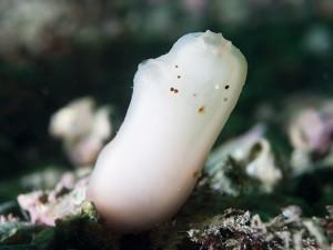 Ascidia virginea