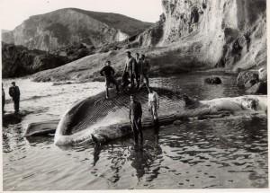 Balena spiaggiata a Frontone