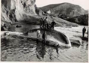 Balena-spiaggiata-a-Frontone riflessa