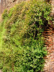 Capperi sulle Mura Labicane a S. Lorenzo
