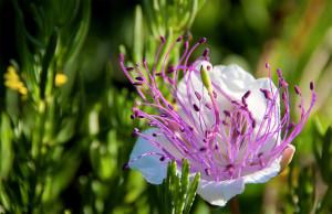 Cappero fiore. Last
