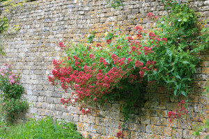 Centranthus ruber. Valeriana rossa