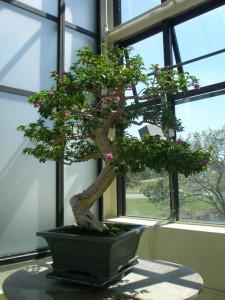 Grande bonsai di Bouganvillea