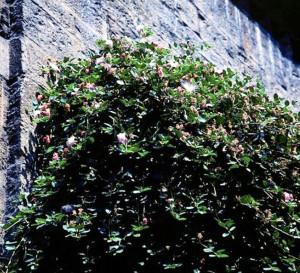 Il cappero di Sanremo in piena vegetazione