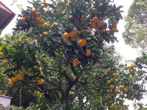 L'arancio del giardino di papà