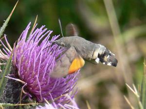 Macroglossum stellatarum su cardo