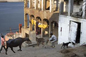 A street scene by the Ganges with cows at Varanasi