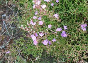 Limonium pontium. Fiore
