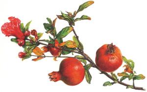 Melograno. Fiori foglie frutti