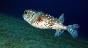 Pesce-palla-823x450