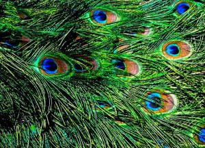 Color pavone