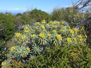 Euphorbia dendroides. Cistus monpeliensis p.p. Resized
