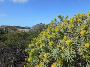 Euphorbia dendroides. Scorcio Palmarola. Resized