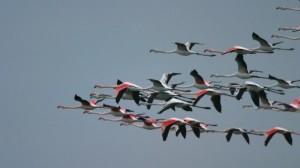 Uccelli migratori. Fenicotteri volo