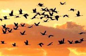 uccelli_migratori.1