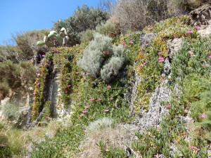 Carpobrotus edulis con altr e piante della macchia mediterranea