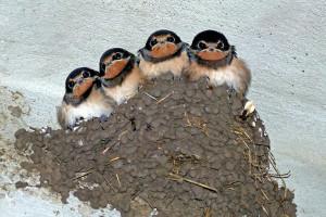 Piccoli di rondine nel nido