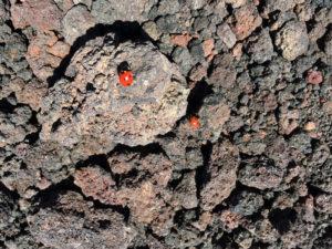 Coccinelle sulla lava