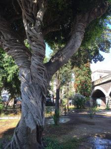 Ficus Catania Bignonia Giardino Pacini