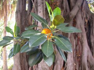 Ficus macrophylla. Part. foglie