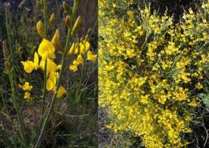 Fioriture Spartium Junceum e genista Thyrrena a confronto