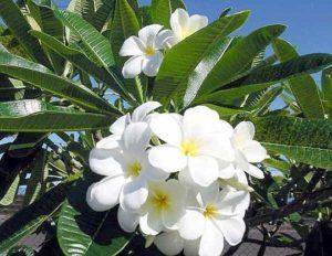 Plumeria alba. Fam. Apocynaceae