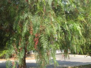 Schinus molle. Anacardiaceae