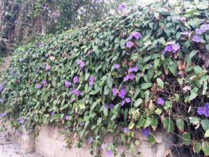 Siracusa Thunbergia grandiflora