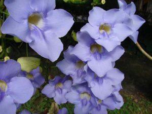 Thunbergia Grandiflora. Part. fiori