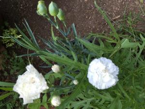 Garofani fioriti e in boccio
