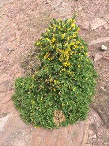 Ginestra spinosa