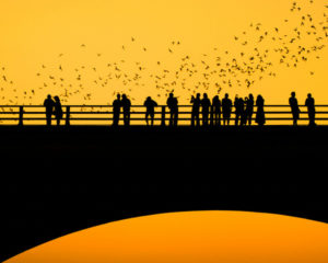 Original caption: Bat watchers on Austin's Congress St. bridge at sunset. Austin hosts the world's largest urban bat colony. The flying mammals consume an estimated ten- to twenty-thousand pounds of insects each night. --- Image by © Patrick Byrd/Science Faction/Corbis