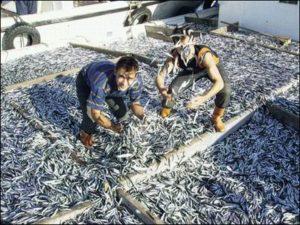 pesca-alici
