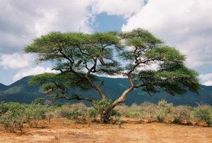 13-acacia-tree