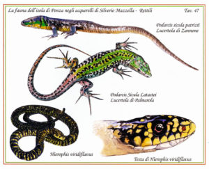palmarola-wall-lizard