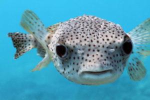 pesce-palla-2