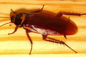 scarafaggio-rosso-africano