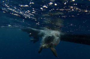 tartaruga_marina_dopo_le_cure_valeriana_torna_a_nuotare