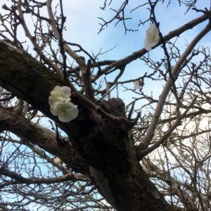 albicocco-in-fiore-19-11-2016