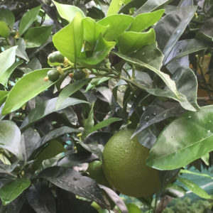 arancio-con-frutti-di-stagione-e-nuovi
