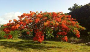 flamboyant-tree-delonix-regia