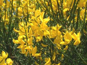 spartium-iunceum