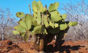 cactus-delle-galapagos